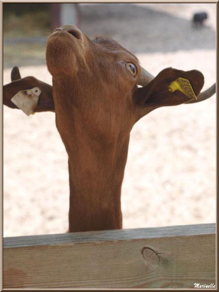 """""""Je me monte la tête !"""" Chèvre marron, Parc de la Coccinelle, mini-ferme à Gujan-Mestras, Bassin d'Arcachon (33)"""