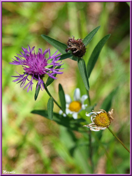 Centaurée Jacée ou Tête de Moineau ou Ambrette et Marguerites, flore sur le Bassin d'Arcachon