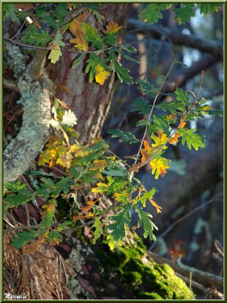 Méli mélo forestier : chêne automnal et pin moussu, forêt sur le Bassin d'Arcachon (33)