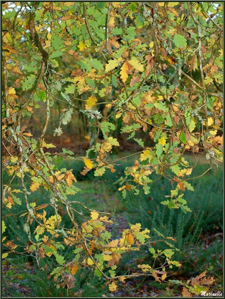 Méli mélo forestier : chêne automnal et ajonc, forêt sur le Bassin d'Arcachon (33)