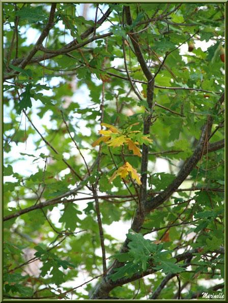 Chêne et prémices d'automne, forêt sur le Bassin d'Arcachon (33)