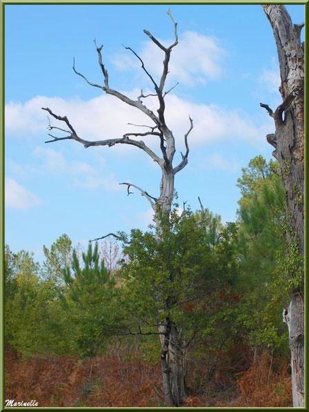 Arbre mort dressé vers le ciel, forêt sur le Bassin d'Arcachon (33)