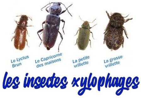 Les insectes xylophages dans nos maisons