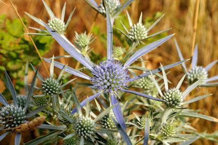 DSC_7823_ panicaut champêtre-Eryngium campestris-Apiaceae.
