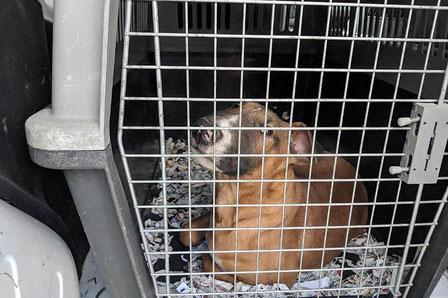2019-05-15-Welpenhandel-Slowakei-Beschlagnahmung-Stuttgart-165937-c-PETA-D