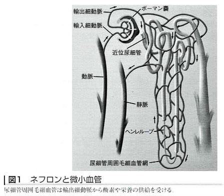 ネフロンと微小血管