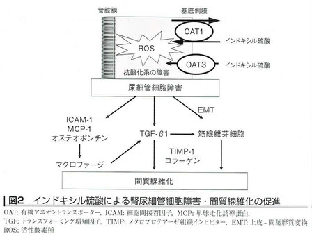 インドキシル硫酸による腎尿細管細胞障害・間質線維化の促進