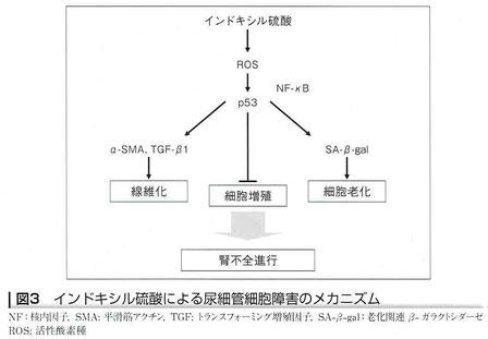 インドキシル硫酸による尿細管細胞障害のメカニズム