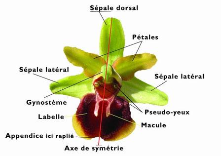 descriptif d'une fleur d'Ophrys araneola