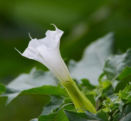 Bild: Trompetenblume mit weißer Blüte