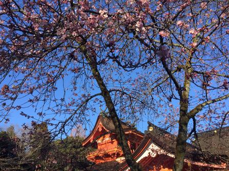 浅間大社の桜