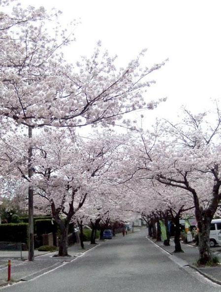 Itō - Jogasaki Kaigan - sakura - cerisiers