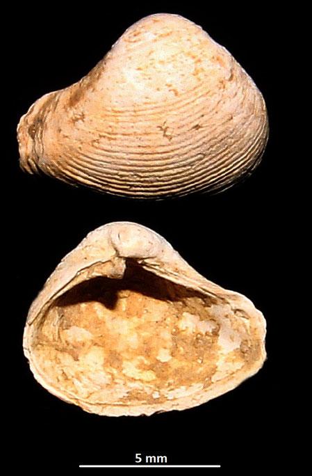 Corbula gibba, Macchia della Turchina (Monteromano, VT)