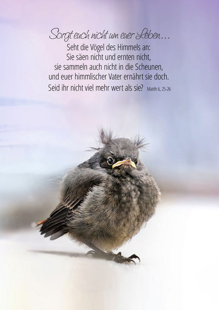 Hausrotschwanz Junior, Vogel, Tier