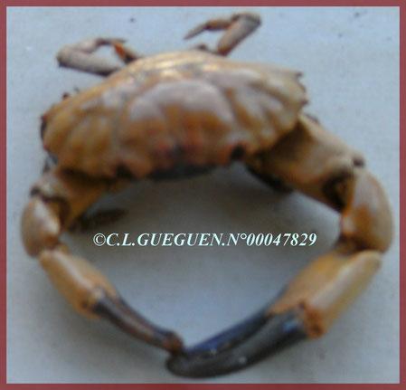 """Un crabe """"violonniste""""..."""
