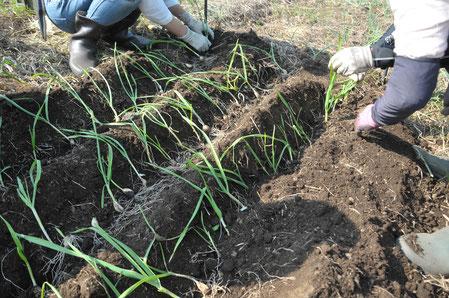 ニンニク 自然栽培 農業体験 体験農場 野菜作り教室