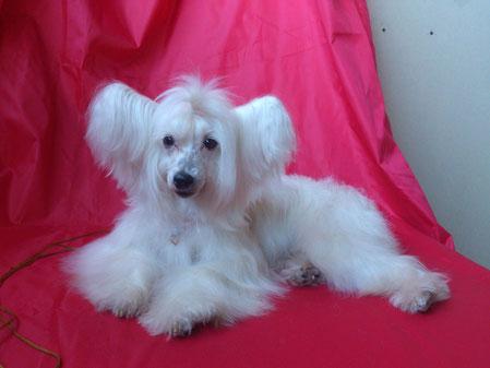 паудер-паф китайской хохлатой собаки