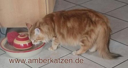 Amber-Tabby-Katze, Foto: © amberkatzen.de