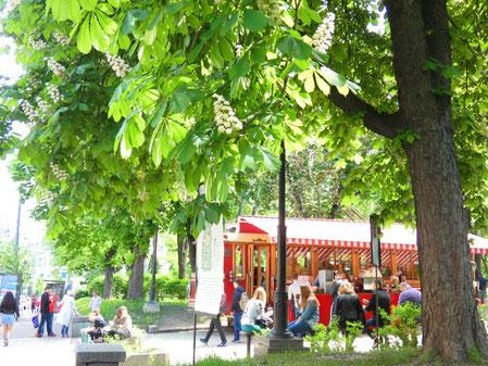 Chestnut tree in Kiev
