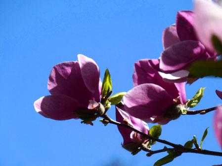 Magnolia in Kyiv botanical garden