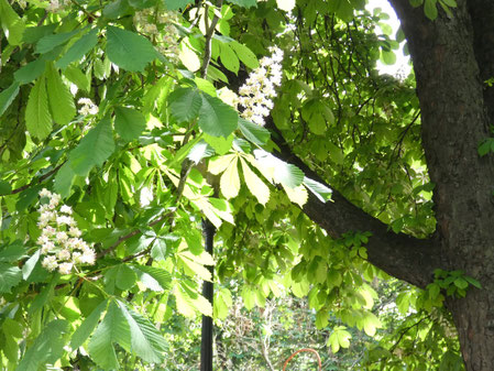 Kyiv chestnut trees