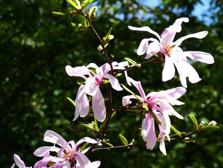 Magnolia in Kiev botanical garden
