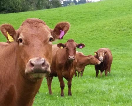 Aus Weidegras entsteht hochwertiges Rindfleisch