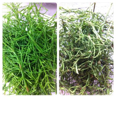●左は摘んですぐ。右は一日乾燥させたもの