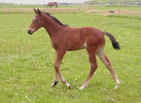 Bonita des Fusains as a foal 2005