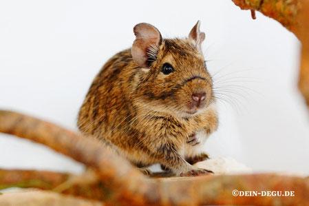 Degu Agouti Uni Weibchen - Puckl