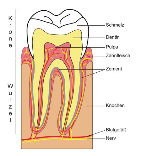aus was besteht ein Zahn