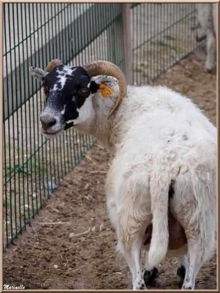 Chèvre, Parc de la Coccinelle, mini-ferme à Gujan-Mestras, Bassin d'Arcachon (33)