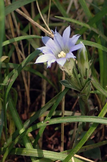 フデリンドウ (筆竜胆) リンドウ科 リンドウ属  花はまだひとつ