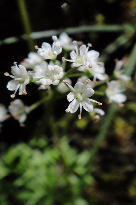 #6 ミヤマセントウソウの花