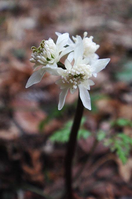 セリバオウレンの両性花  今年も雌花は見つからなかった
