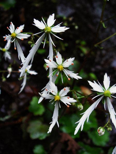 キレベンダイモンジソウ? こんなに花弁の鋸歯が深い花は、ネットで検索しても見つからなかった