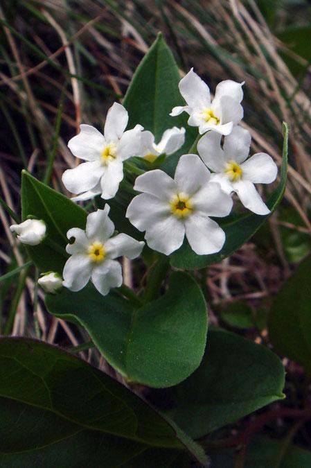 タチカメバソウの花の径は7〜10mm。1つの花弁がとても大きい花があった