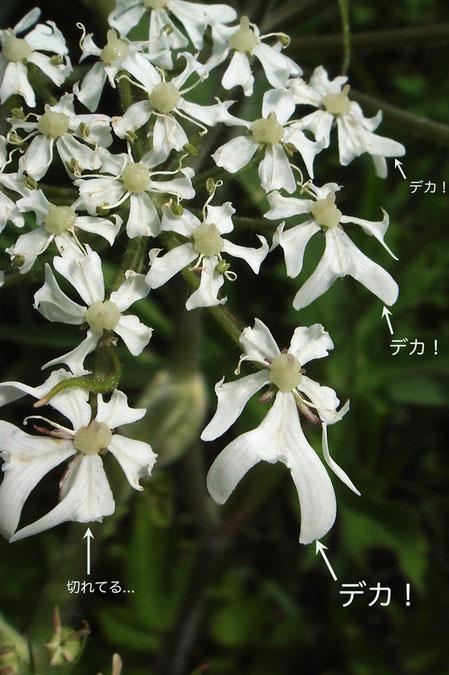 ハナウドの花序の外側の花は大きく、更に外側の1弁が他の4弁より大きいのが特徴