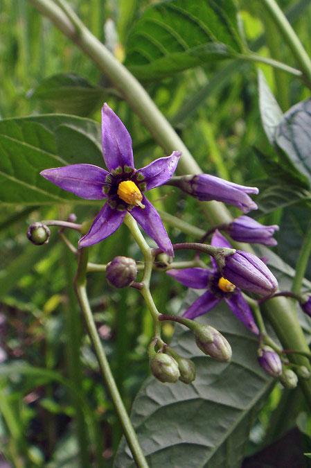オオマルバノホロシの花はまだつぼみも多かった。 茎はほぼ無毛