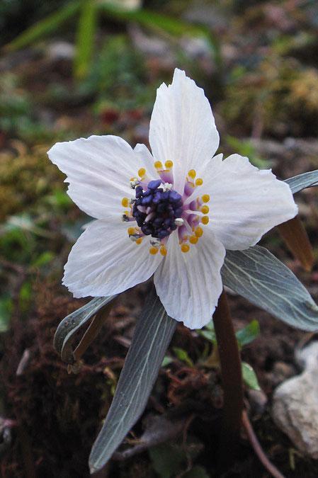 花弁に見える白い部分は萼片、花弁は退化し、小さな黄色の部分です