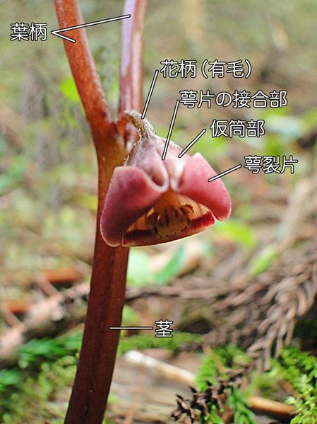 フタバアオイのこの花はまだ若く萼裂片が半曲する途中段階  2010.04.04 岐阜県