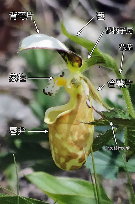 #5 キバナノアツモリソウの花の構造−花の側面