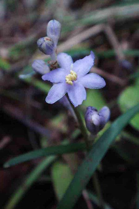 ヒメヤブラン (姫藪蘭) キジカクシ科 ヤブラン属