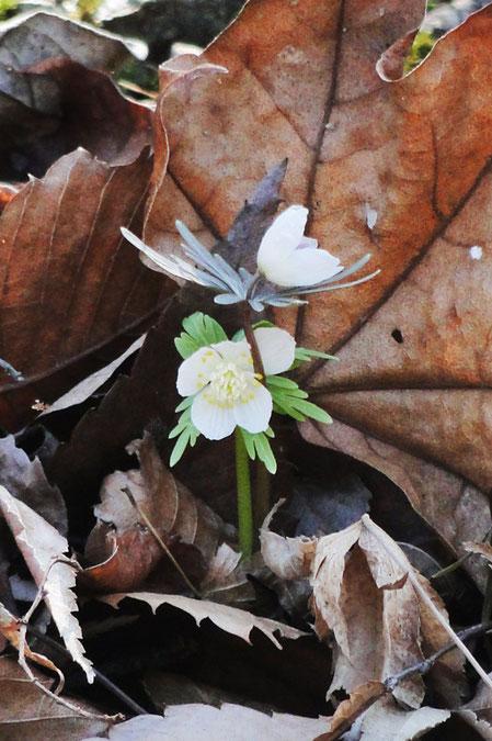シロバナセツブンソウ。 下が白花、上が通常花。 茎や葉の色も異なる