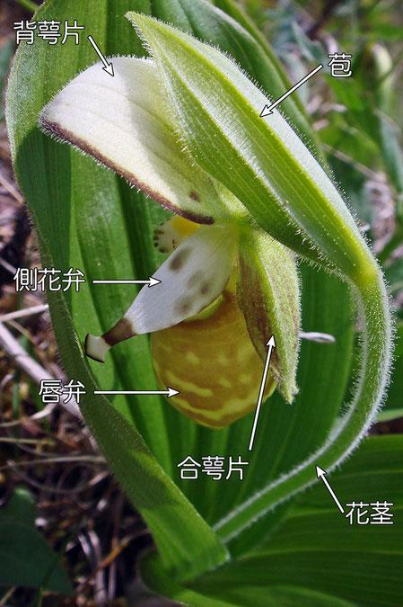 #6 キバナノアツモリソウの花の背面−やや斜め上方から(背萼片、側花弁、合萼片、唇弁、苞、花茎)