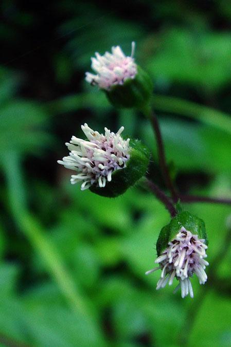オカダイコンの頭花は筒状の両性花のみで、長さ約2.5mm