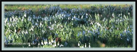 die Schneeglöckchen blühen bereits