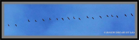 Vogelflug Gänse