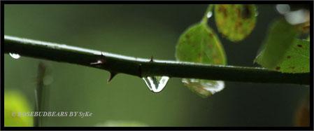 Regentropfen am Rosenbusch