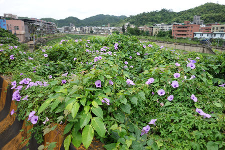 台湾の朝顔はこの色